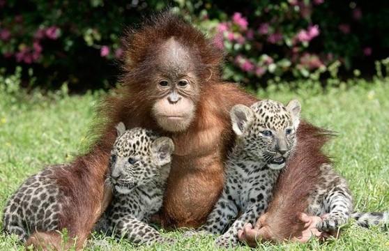orangutan-leopard-