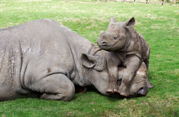 Rhino-Hanging-out-with-mom